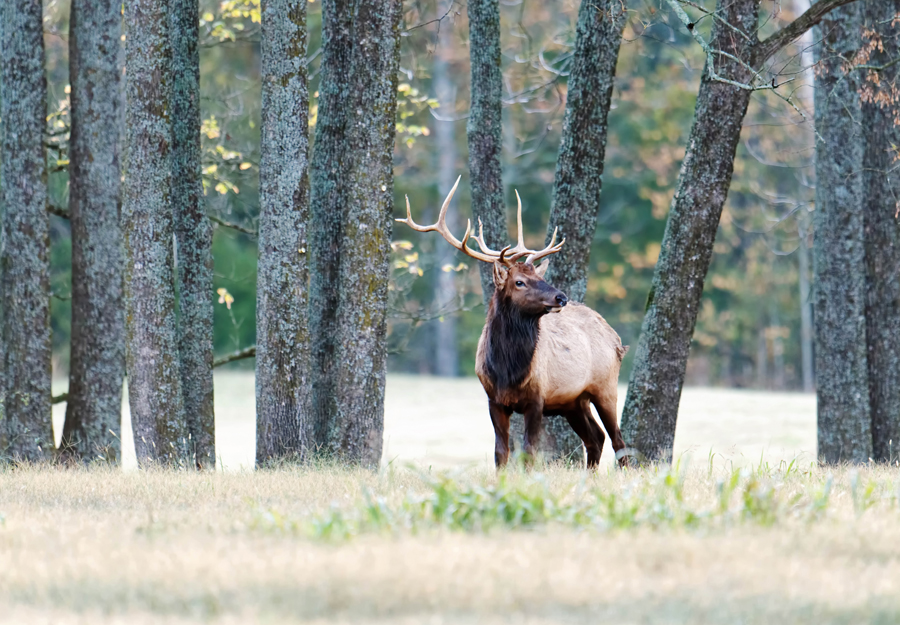Fall Elk-Watching Season Now Prime in Ponca | Buffalo Outdoor Center