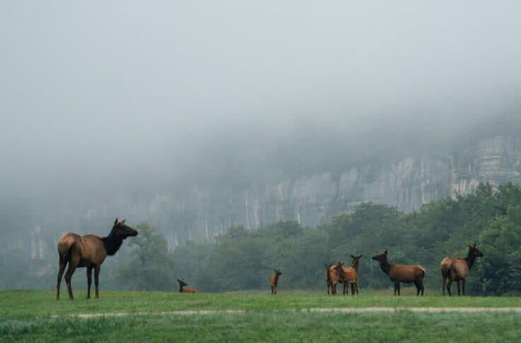 Elk grazing in a field